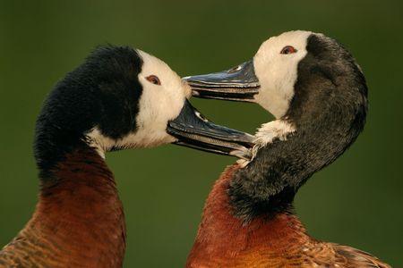 Preening African white-faced ducks photo