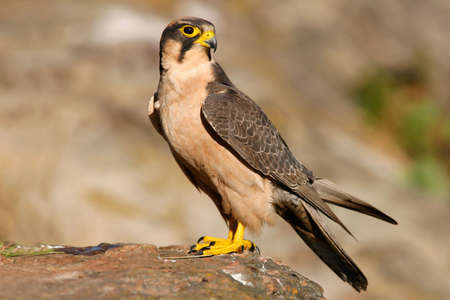Lanner falcon perched on a rock, South Africa