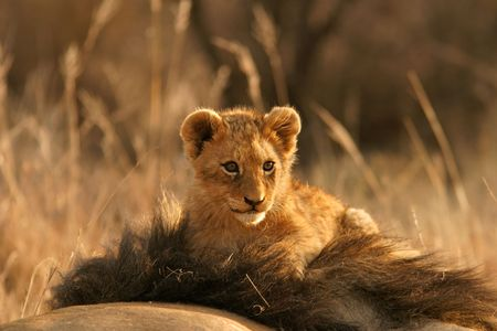Lion cub climbing on the head of his father, South Africa Stock Photo