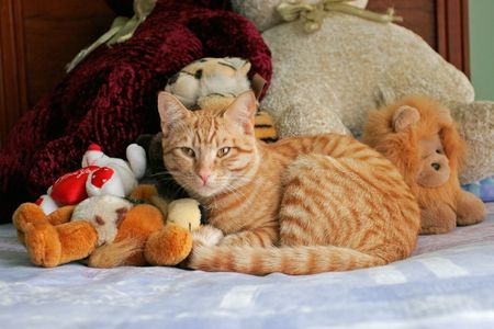Cuddly ginger cat lying between teddy bears on bed  photo