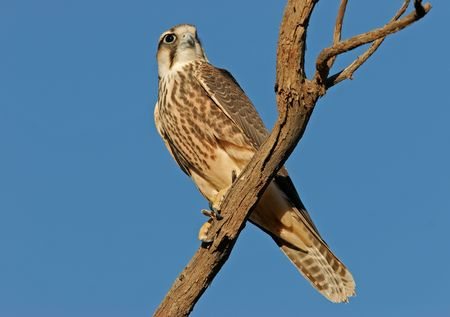 Lanner falcon perched on a branch, South Africa