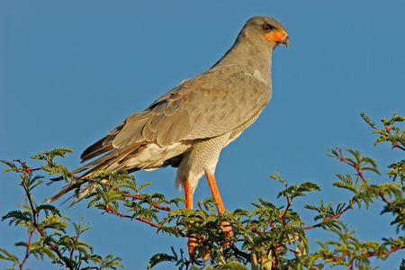 chanting: Pale Chanting goshawk perched on a tree, Kalahari, South Africa Stock Photo