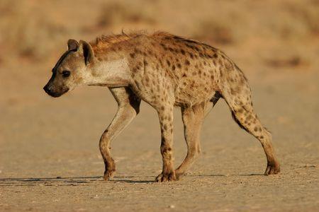 Spotted hyena walking, Kalahari, South Africa Stock Photo - 459520