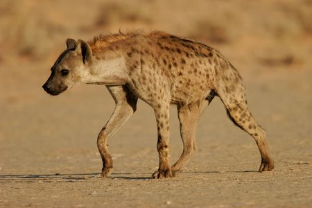 scavenger: Spotted hyena walking, Kalahari, South Africa Stock Photo