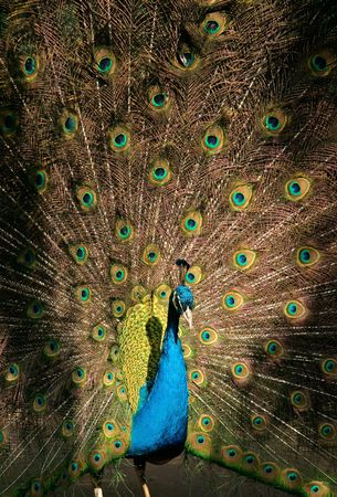 exhibiting: Colorful male peacock displaying Stock Photo