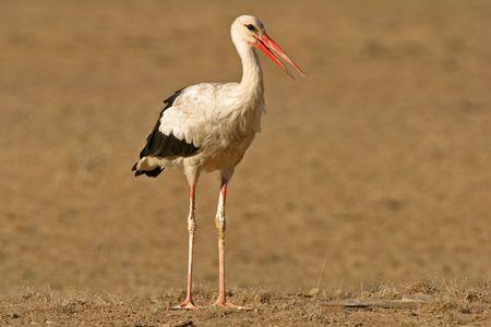 migratory: Migratory white stork, Kalahari, South Africa Stock Photo