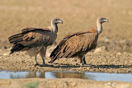 beak vulture: White-backed vultures at the water, Kalahari, South Africa