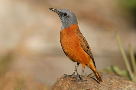 thrush: Sentinel rock thrush perched on a rock in it's mountainous habitat, South Africa Stock Photo