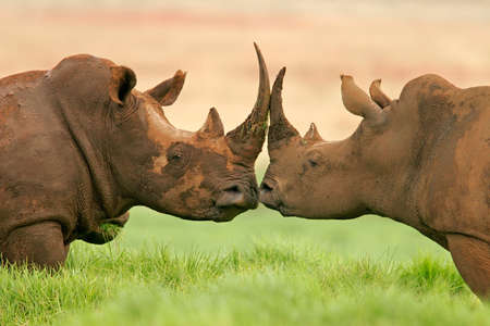 Portrait of two White (square-lipped) rhinoceros, South Africa Stock Photo