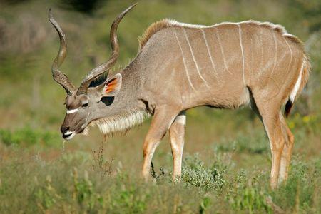 Large male Kudu antelope, Etosha National park, Namibia