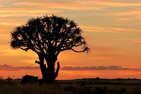 quiver: Silhouet van een boom quiver (Aloe dichotoma) bij zonsopgang, Namibië Stockfoto