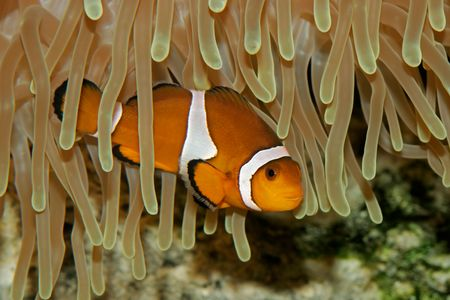 symbiosis: Clown fish and sea anemone