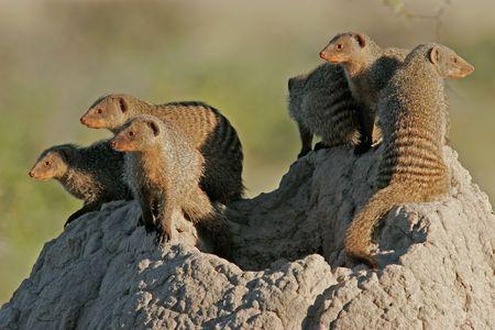 mangosta: En bandas mangosta familia sol sobre un mont�culo de termitas, el Parque Nacional de Etosha, Namibia