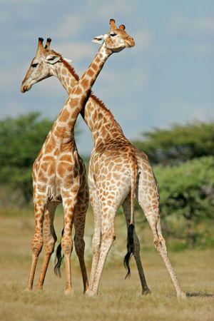 jirafa: Dos giraffes masculinos que luchan, parque nacional de Etosha, Namibia Foto de archivo