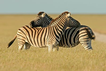 plains: Two Plains Zebra stallions, Etosha National park, Namibia