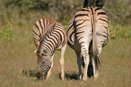 Plains Zebra mare with foal, Etosha National park, Namibia Stock Photo - 510749