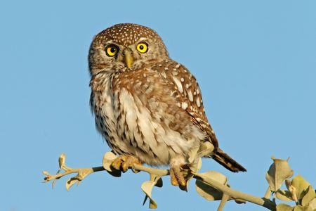 kruger: Pearl-spotted owl (Glaucidium perlatum), Kruger National park, South Africa  Stock Photo