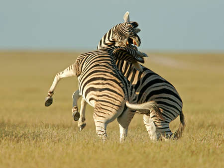 plains: Two Plains Zebra stallions fighting, Etosha National park, Namibia