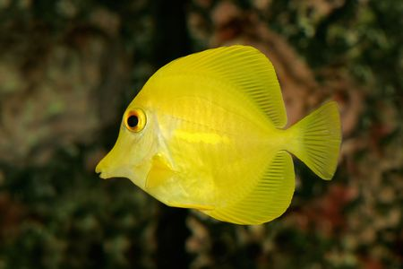 flavescens: Underwater view of a Yellow Tang (Zebrasoma flavescens)