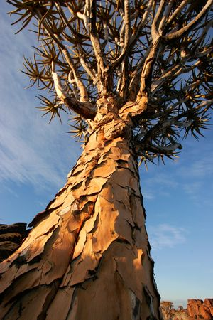 dichotoma: A quiver tree (Aloe dichotoma) at sunrise, Namibia