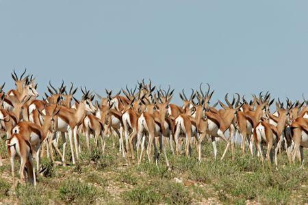 springbok: A large herd of springbok antelopes, Kalahari, South Africa
