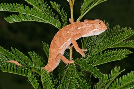 africa chameleon: Chameleon on the leaves of an African Acacia tree, South Africa
