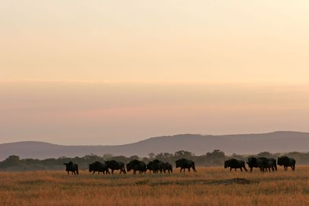 plains: Herd of blue wildebeest at sunset on open grassland plains, South Africa Stock Photo