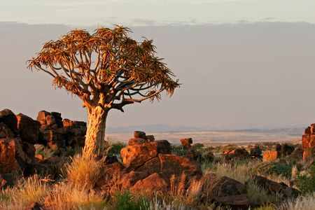 dichotoma: Desert landscape at sunrise with granite rocks and a quiver tree (Aloe dichotoma), Namibia