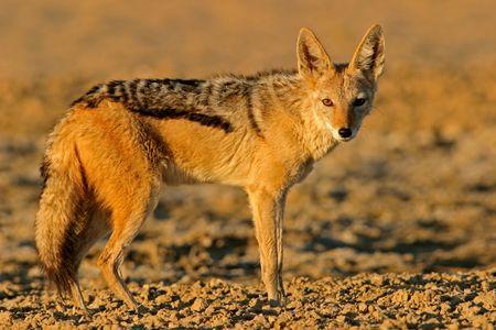 elusive: Alert Black-backed Jackal, Kalahari, South Africa
