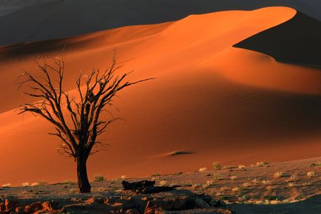 Dead camel thorn tree and dune, late afternoon, Sossusvlei, Namibia Stock Photo - 569440