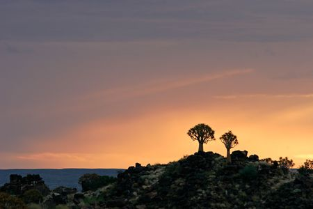 quiver: Silhouetten van quiver bomen (Aloe dichotoma) bij zonsopgang, Namibië