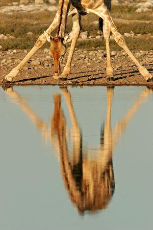 jirafa: Reflexi�n de una jirafa en el agua potable mientras que, Parque Nacional de Etosha, Namibia  Foto de archivo