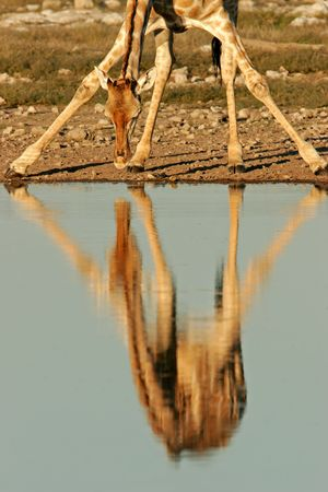 beine spreizen: Spiegelbild der eine Giraffe in Wasser, w�hrend das Trinken, Etosha Nationalpark, Namibia  Lizenzfreie Bilder