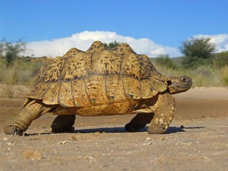 Mountain tortoise in natural environment, South Africa Stock Photo