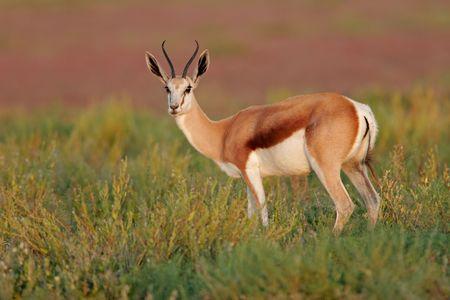 ungulate: A Springbok antelope, Etosha National Park, Namibia