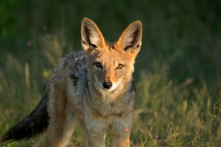 Frontal view of a black-backed Jackal, Etosha National Park, Namibia