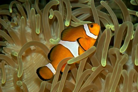 Clown fish hiding in a sea anemone photo