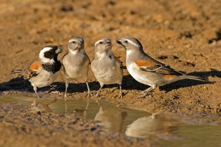 passer by: Cape sparrows (Passer melanurus) at the water, Kalahari, South Africa
