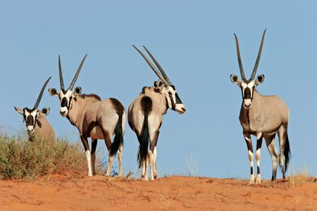 Gemsbok antelopes (Oryx gazella) on dune, Kalahari, South Africa photo