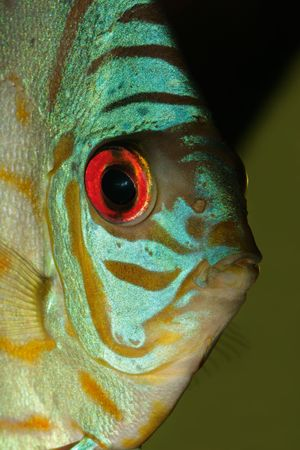 Close-up, underwater view of a colorful blue discus fish (Symphysodon aequifasciata) photo