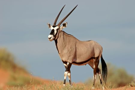A gemsbok antelope (Oryx gazella) on a red sand dune, Kalahari, South Africa  photo