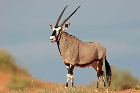 an ungulate: Un gemsbok antilopi (Oryx Gazella) su una duna di sabbia rossa, Kalahari, Sud Africa