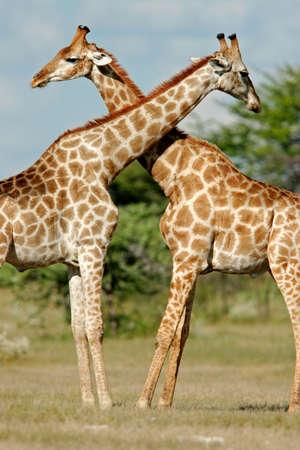 giraffa: Two male giraffes (Giraffa camelopardalis), Etosha National Park, Namibia