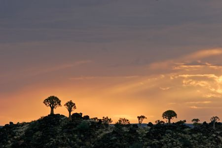 Silhouettes of quiver trees (Aloe dichotoma) at sunrise, Namibia Stock Photo - 680581