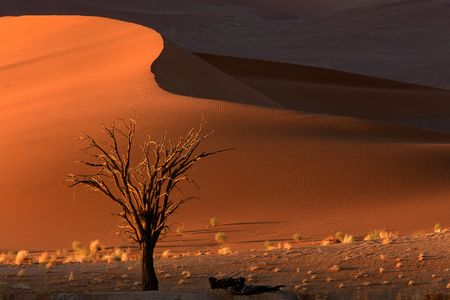sossusvlei: Dead camel thorn tree (Acacia erioloba) and dune, late afternoon, Sossusvlei, Namibia