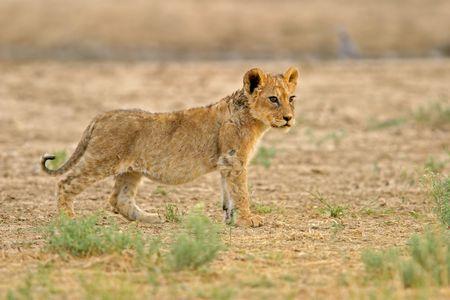 Young lion cub (Panthera leo), Kalahari, South Africa photo