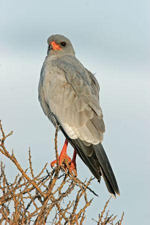 chanting: Pale Chanting goshawk (Melierax canorus), Etosha National Park, Namibia