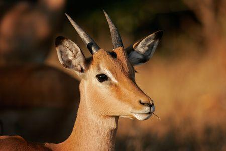 Portrait of an immature impala, (Aepyceros melampus), Kruger National Park, South Africa  photo