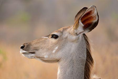 Portrait of a female Kudu antelope, (Tragelaphus strepsiceros), Kruger National Park, South Africa  photo