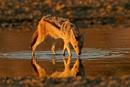 wading: Black-backed Jackal (Canis mesomelas) wading in shallow water, Kalahari, South Africa  Stock Photo